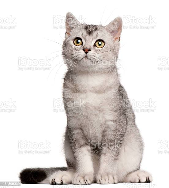 Month old british shorthair kitten sitting image on white picture id134398339?b=1&k=6&m=134398339&s=612x612&h=w8u0wo7pgtxj2qs8bnpe7zx68gox9qdfhkt xmkpop4=