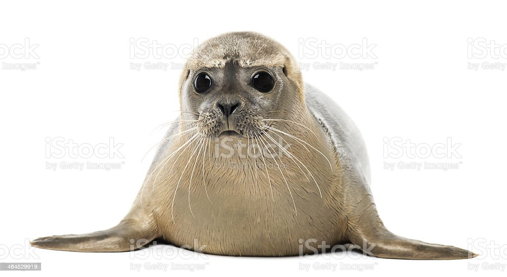 8 month old common seal, Phoca vitulina, facing the camera stock photo