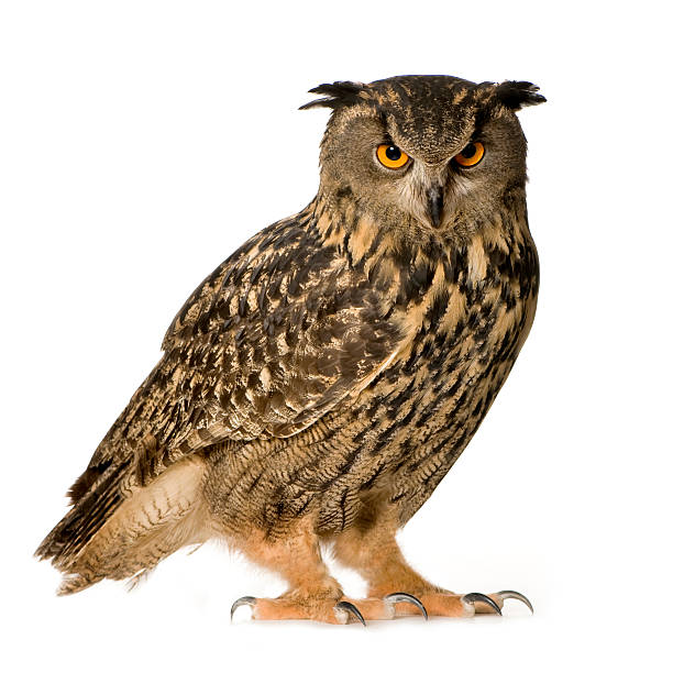 22 month old eurasian eagle owl - owl stock photos and pictures