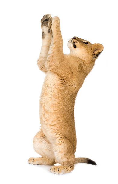 6 month old lion cub standing on hind legs stock photo