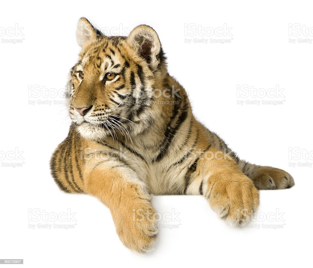5 month old tiger cub isolated in a white background royalty-free stock photo