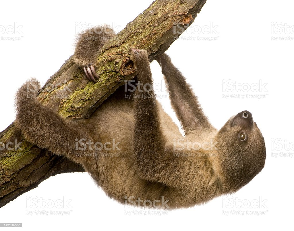 A 4 month old two toed sloth Choloepus didactylus on white stock photo
