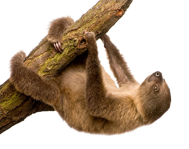 a 4 month old two toed sloth choloepus didactylus on white - sloth stock pictures, royalty-free photos & images