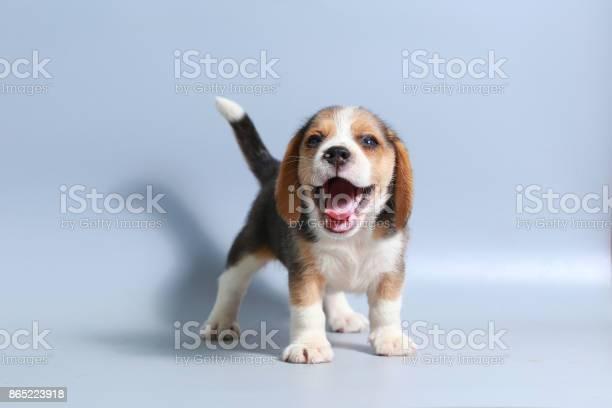 Month pure breed beagle puppy on gray screen picture id865223918?b=1&k=6&m=865223918&s=612x612&h=elxgbqnac8de6euhvw7r0 nzx wuq04muz9aa1 ldt8=
