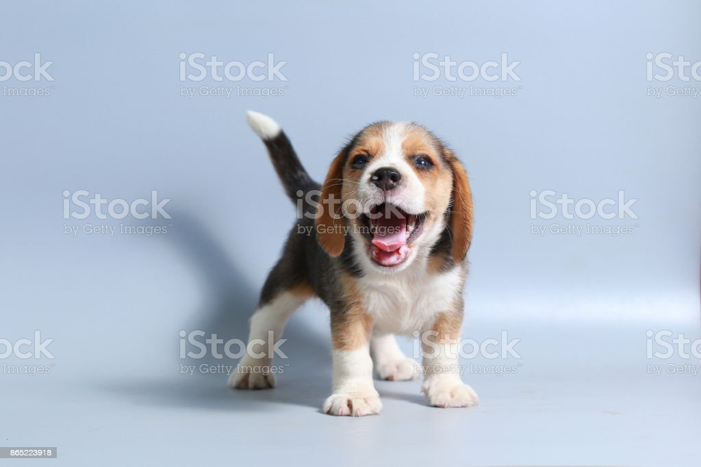 1 month pure breed beagle Puppy on gray screen stock photo