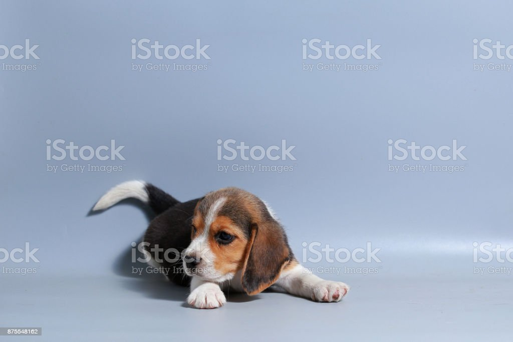 1 Month Pure Breed Beagle Puppy On Gray Screen Stock Photo Download Image Now Istock