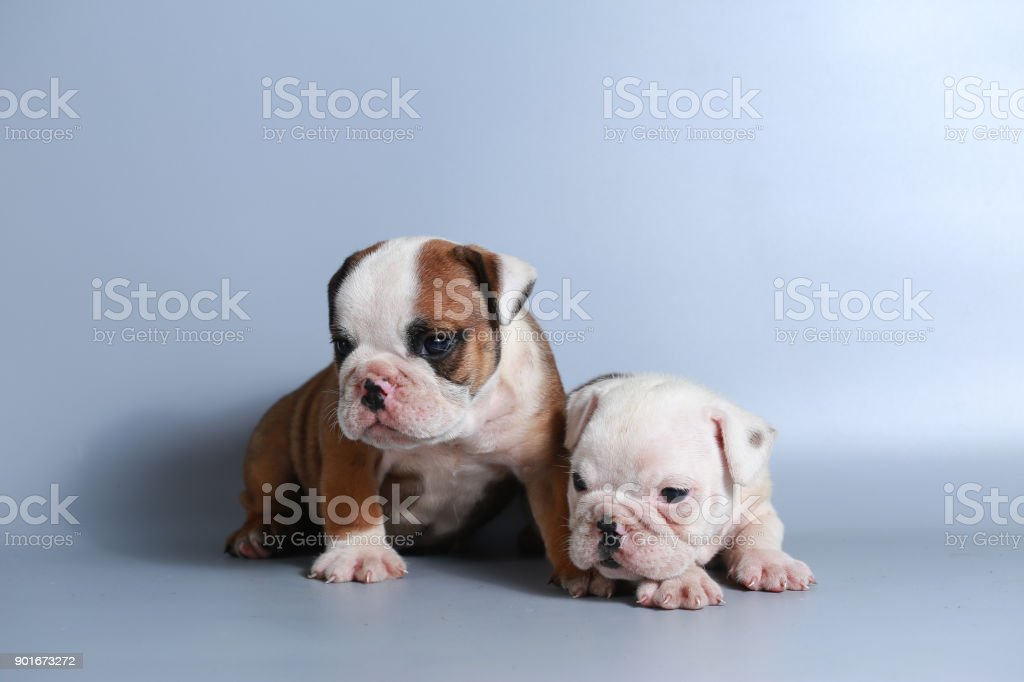 2 Month Purebred English Bulldog Puppy Stock Photo Download Image Now Istock