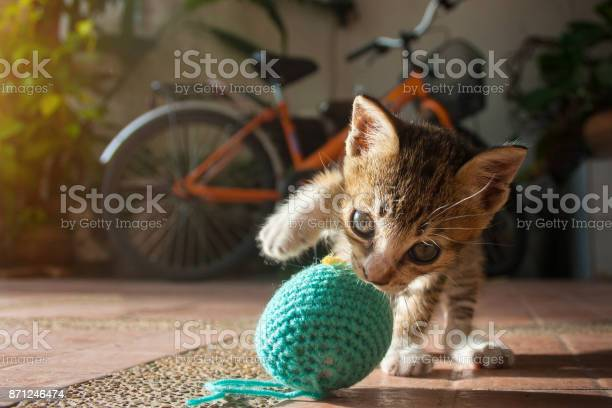 Month year old thai kitten playing blue ball of yarn picture id871246474?b=1&k=6&m=871246474&s=612x612&h=gklt7px in62ok8ac334mm1wfxx7zon9zjh7sggtovi=