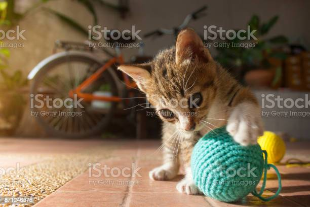 Month year old thai kitten playing blue ball of yarn picture id871246578?b=1&k=6&m=871246578&s=612x612&h=jlqz gk1zifsri41kwujvqsjjft77av1kxyklhnygie=
