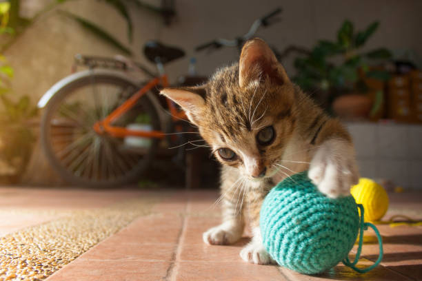 Month year old thai kitten playing blue ball of yarn picture id871246578?b=1&k=6&m=871246578&s=612x612&w=0&h=sqzkyvgv vb5si7bhp0v5gzggl9zvo8  xi2xy6nbda=