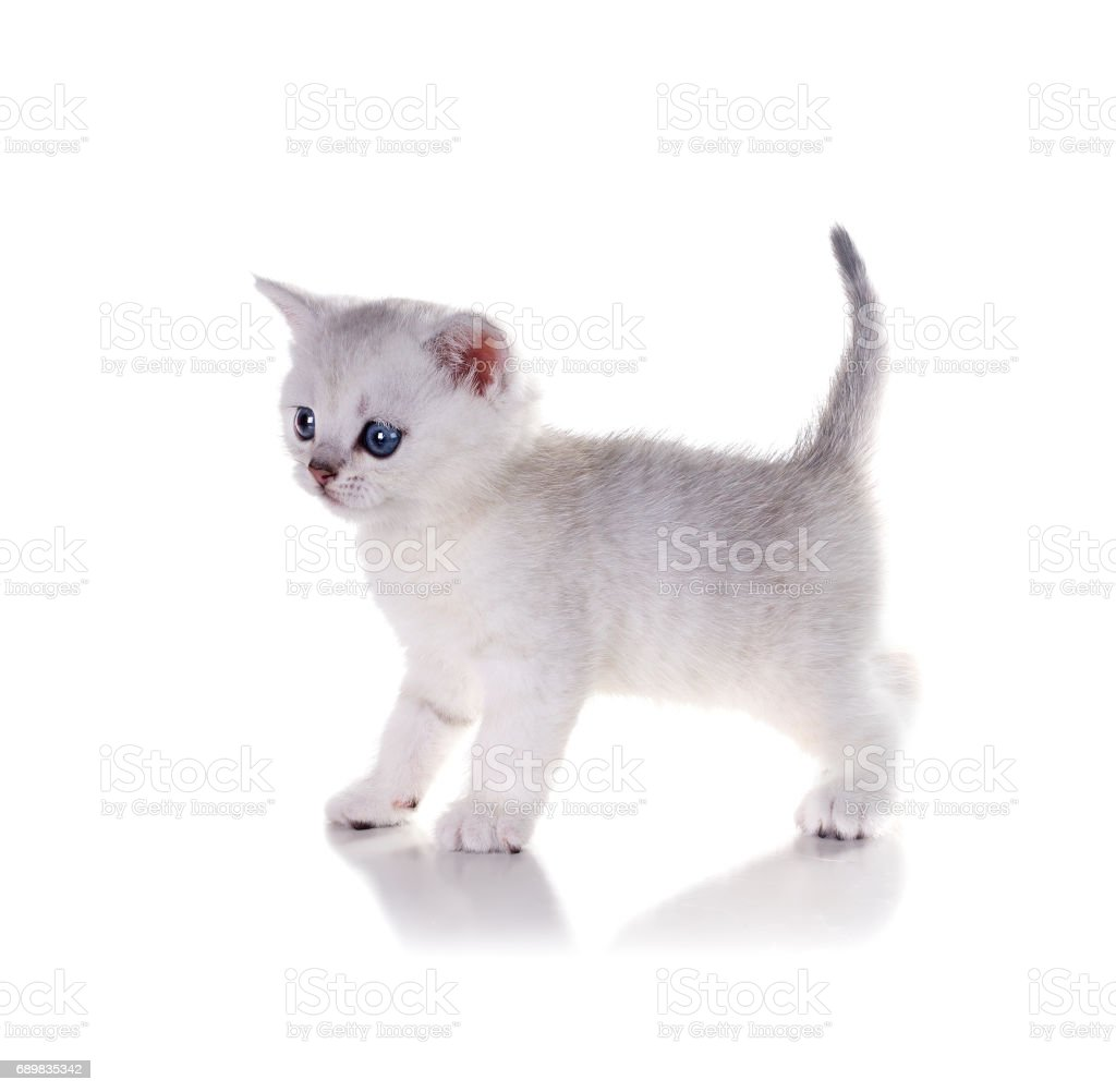 A Monthold British Shorthair Kitten Stands Isolated On White