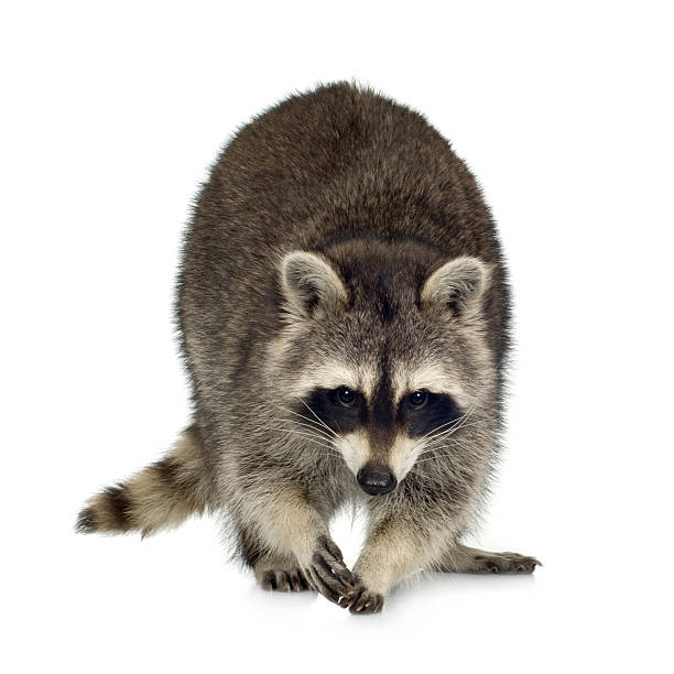 9 month-old raccoon, procyon lotor - raccoon stock photos and pictures