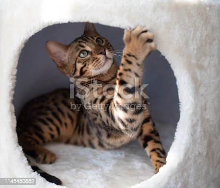 young bengal cat lying in cat cave of a scratching post looking up playing