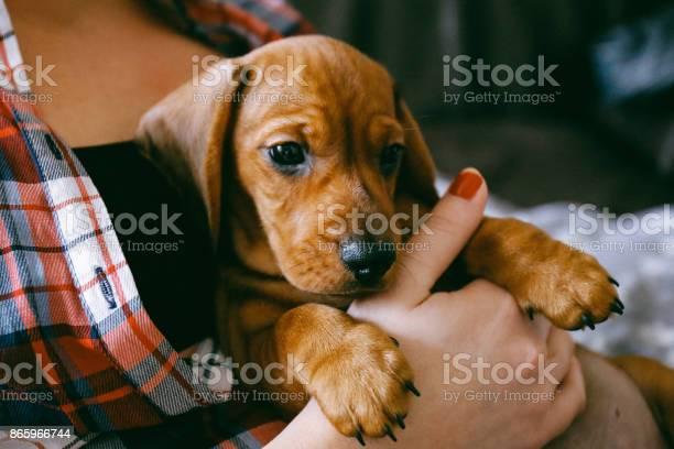 Months old dachshund puppy laying comfortably in hands of its owner picture id865966744?b=1&k=6&m=865966744&s=612x612&h=tc88zl7tphsdtvyt9w1q85lezriunltjzhvvbvpf ky=
