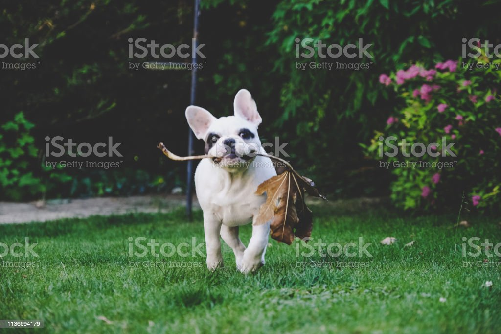 4 Months Old French Bulldog Puppy Playing With A Dried Leaf In The Garden England Stock Photo Download Image Now Istock
