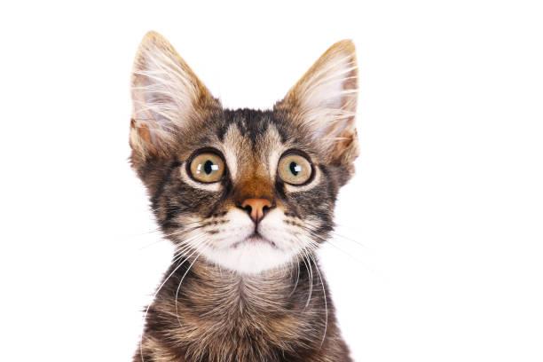 Months old tabby kitten with funny fur stains picture id1165130435?b=1&k=6&m=1165130435&s=612x612&w=0&h=oel3rpmvnpvjyiroqnb6qenxollc8zahpo ogogaghi=