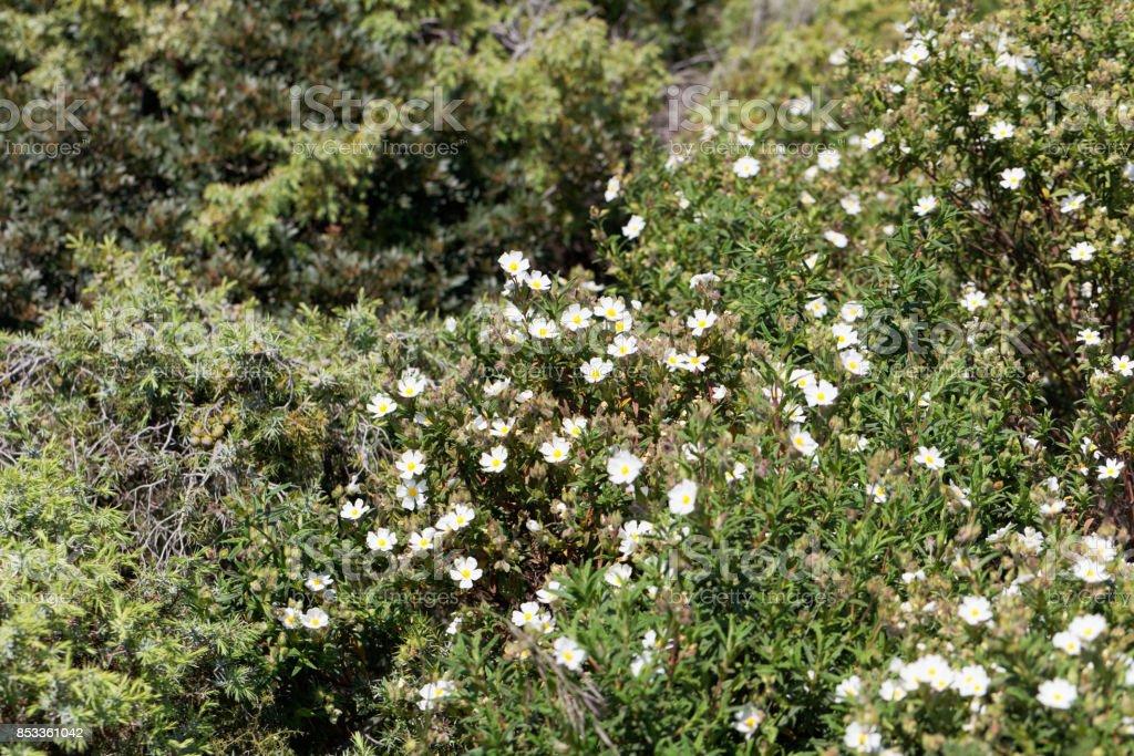 Montpellier cistus (Cistus monspeliensis) stock photo