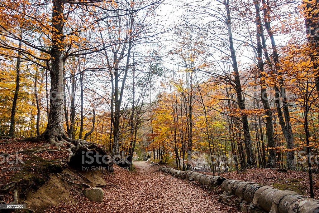 montseny mountain path autumn tree tube root orange horizontal stock photo