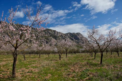 Montserrat in Full Blossom
