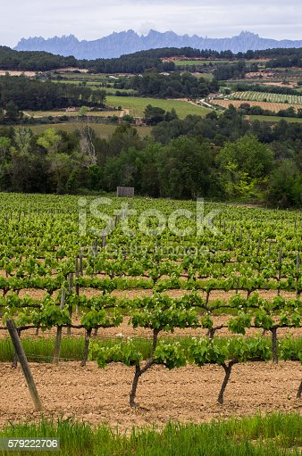 vines from Penedes and Montserrat mountain in Spain