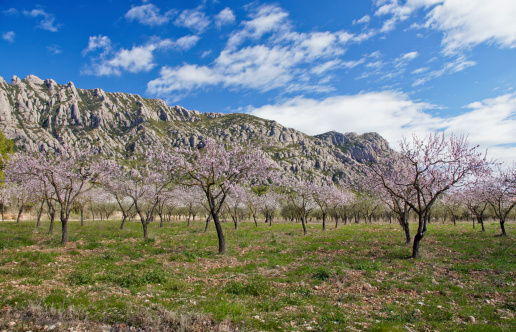Montserrat with Almond Blossoms
