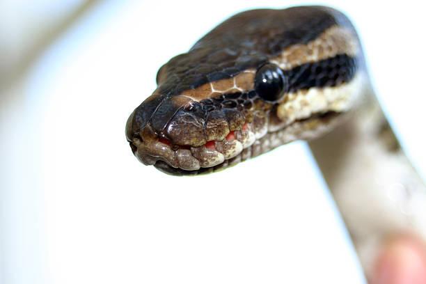 Monty the Python stock photo