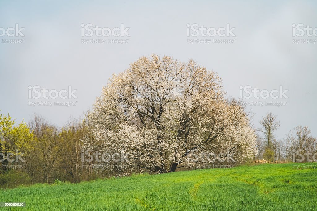 Monumental cherry tree and green field royalty-free stock photo