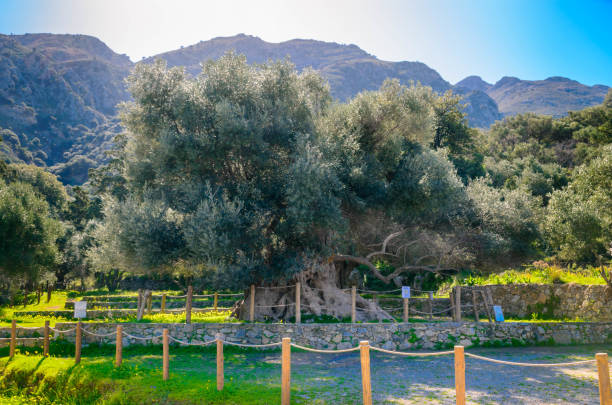 Monumental olive tree in Kavusi with an age of over 3500 years old. stock photo