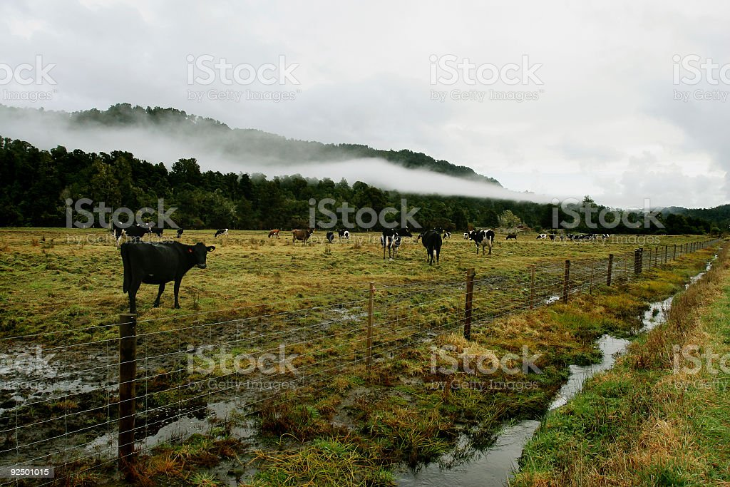 Moo cows on a farm royalty-free stock photo