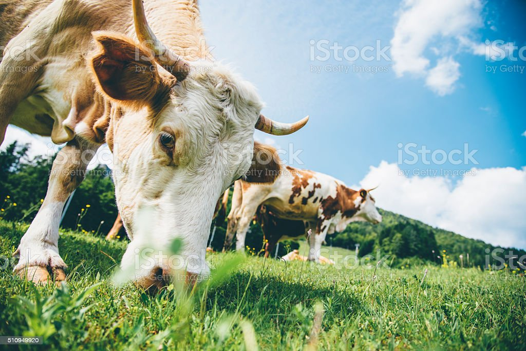 Moo! stock photo
