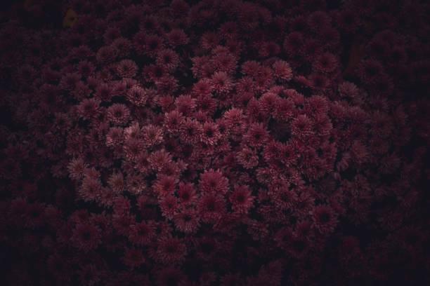 Moody floral dark background mystical deep red purple flower on black picture id1176418289?b=1&k=6&m=1176418289&s=612x612&w=0&h=p5sh1jgi0fruodep7bnxvd98g bwhcxa7lkwfomgxiu=