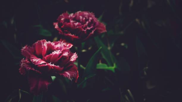 Moody floral dark background mystical deep red purple flower on black picture id1176418849?b=1&k=6&m=1176418849&s=612x612&w=0&h=ukisgufrhhjhispgnvqufolymkqpkoy4 o5s 3 d dm=