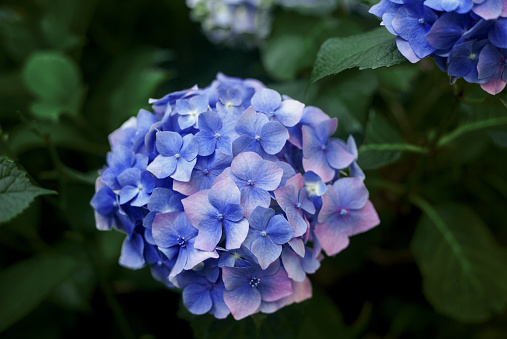 Moody flowers picture of blue hydrangea blossom on the bush