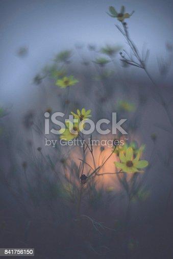 850558406 istock photo Moody nature image of beautiful coreopsis flowers at dusk 841756150