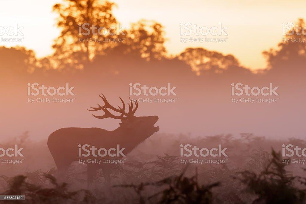 Moody silhouette of Red Deer stag (Cervus elaphus)  bugling stock photo