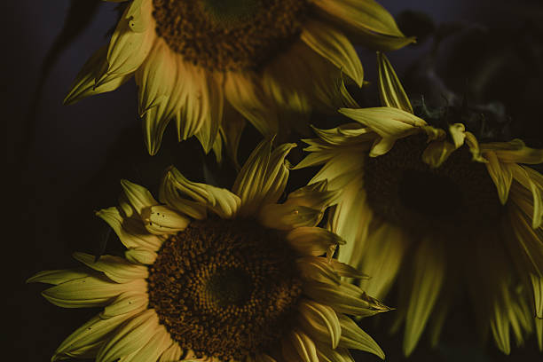 Moody Sunflowers in Still Life Arrangement stock photo