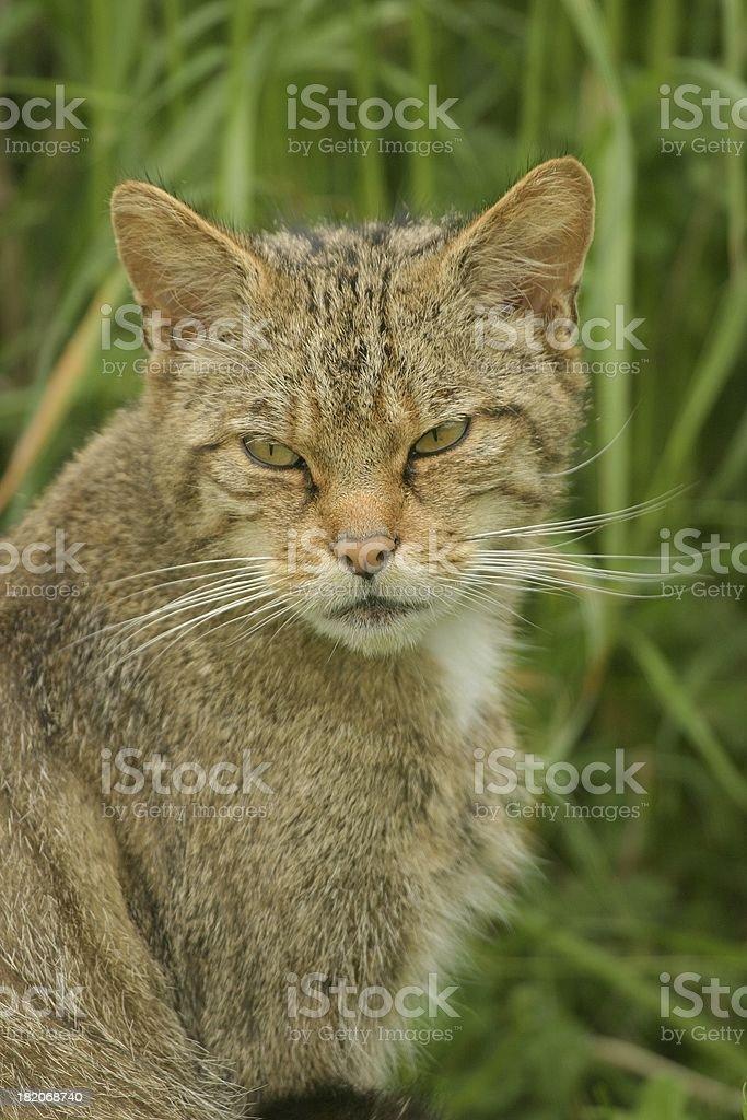 Moody wild cat stock photo