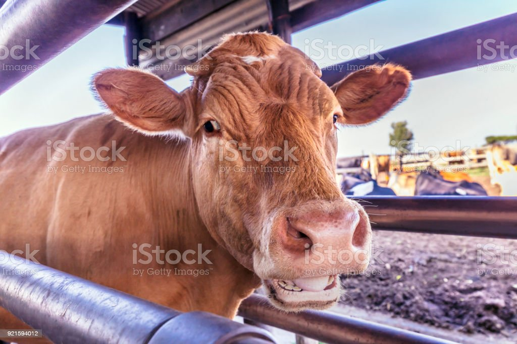 Mooing cow in the queue ready  to get milked stock photo