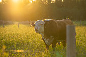 istock A mooing pull on pasture during summer evening at sunset. 1254522584