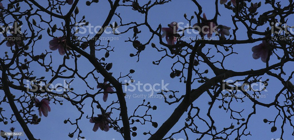 Moon and Magnolia stock photo