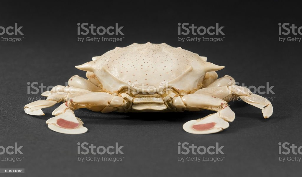 moon crab in dark back stock photo