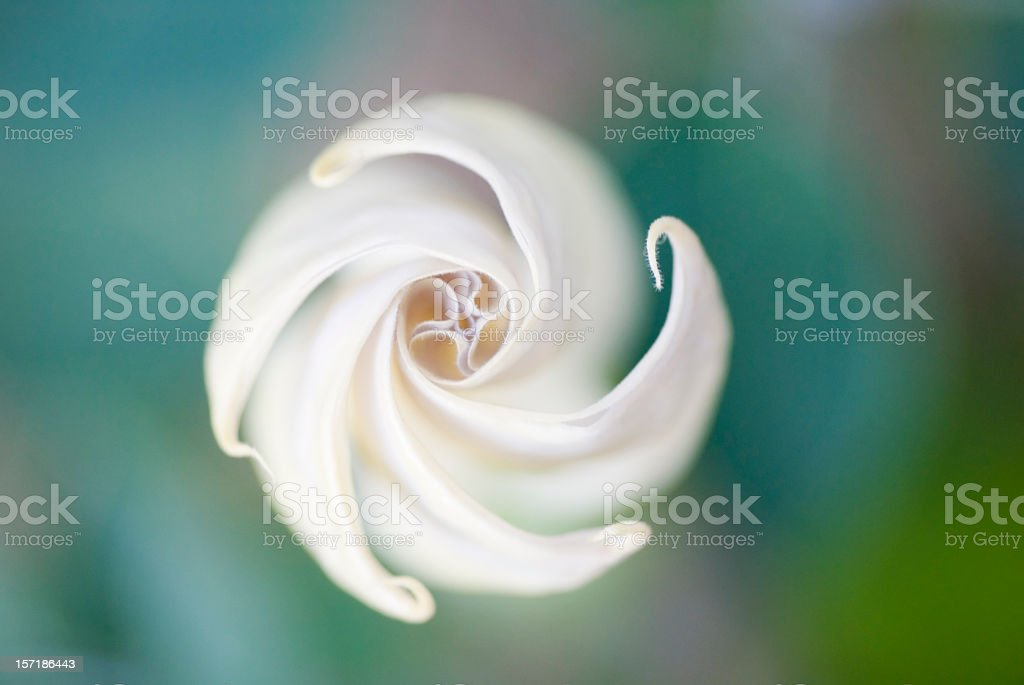 A moon flower blossom with a blurry background stock photo