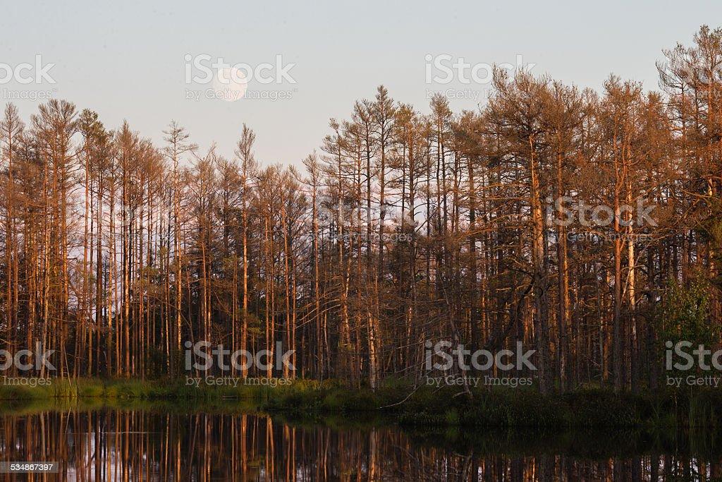 Moon rises over dead trees stock photo