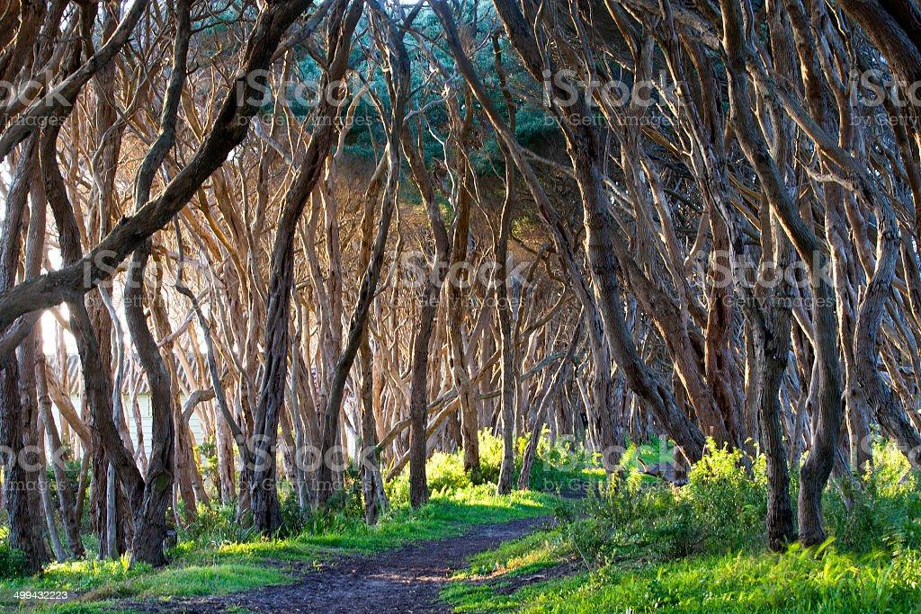 Moonah Tree, Mornington Peninsula, Victoria, Australia stock photo