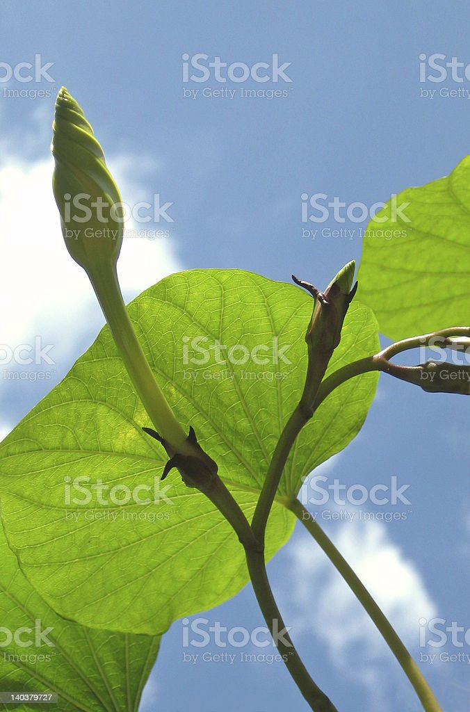 Moonflower Buds and Green Vine into the Blue Sky stock photo
