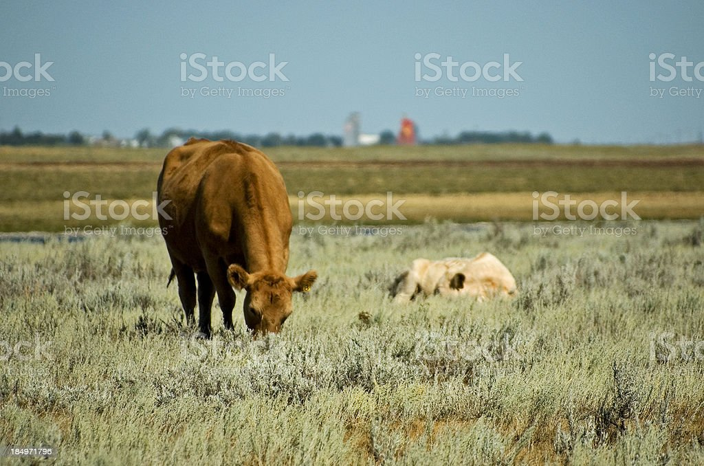 Mooo licious royalty-free stock photo