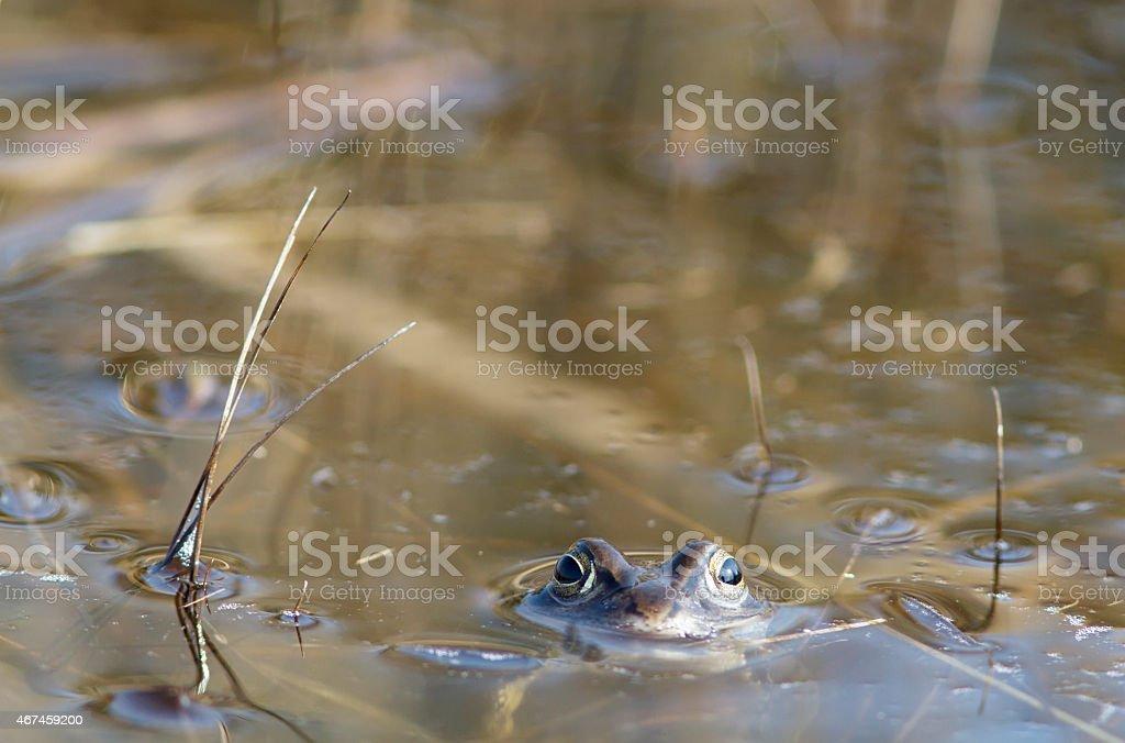 Moor Frog (Rana arvalis) Male foto
