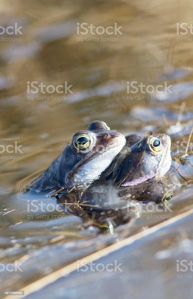 Moor Frog (Rana arvalis) Male (two) foto