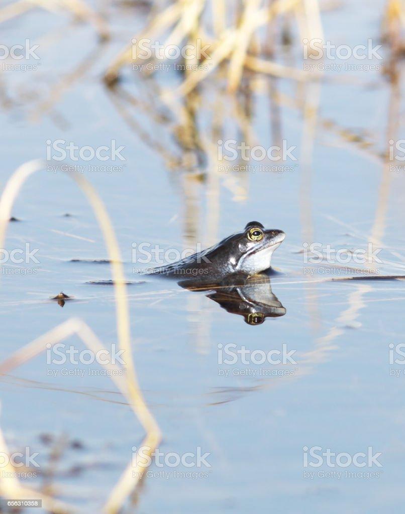 Aanmeren kikkers (Rana arvalis) tijdens de paring seizoen foto