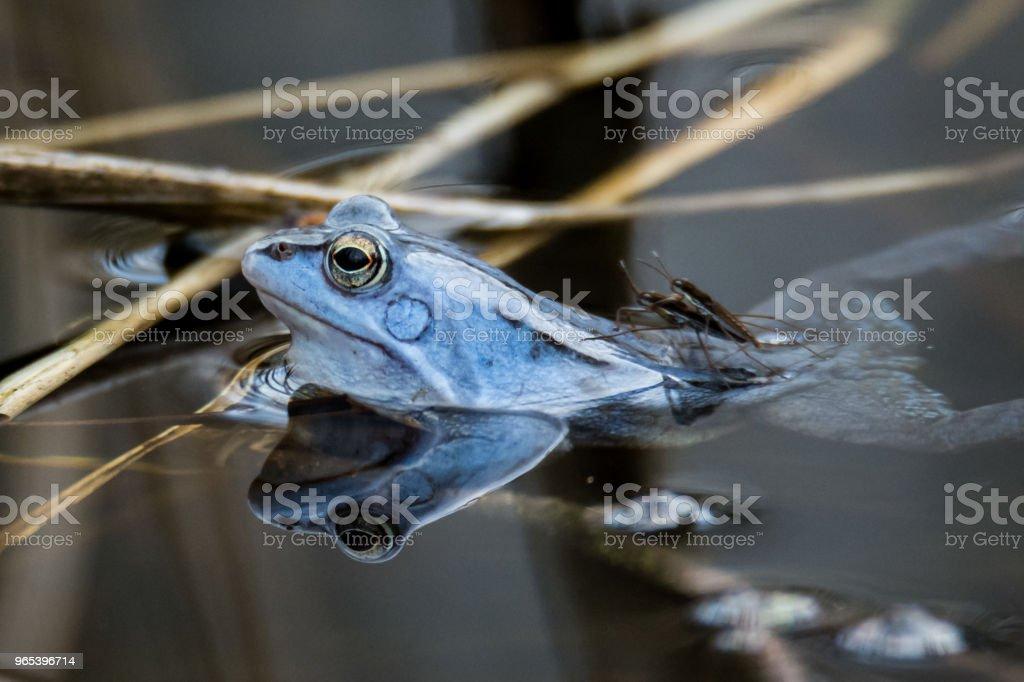 Moor frogs in blue color at mating season zbiór zdjęć royalty-free